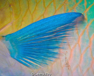Cleaner shrimp on parrot fish by Leena Roy